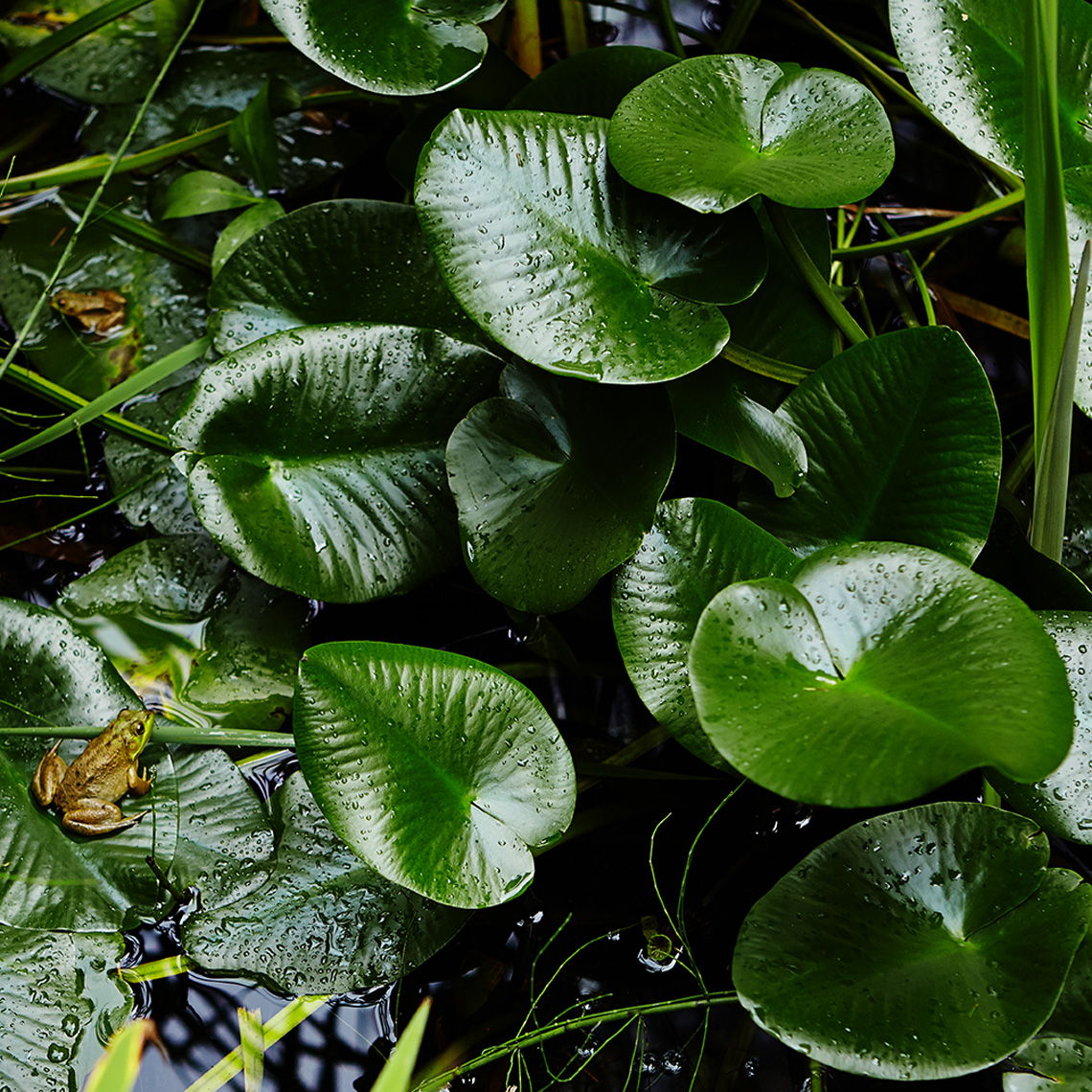 green frogs on green lilly pads