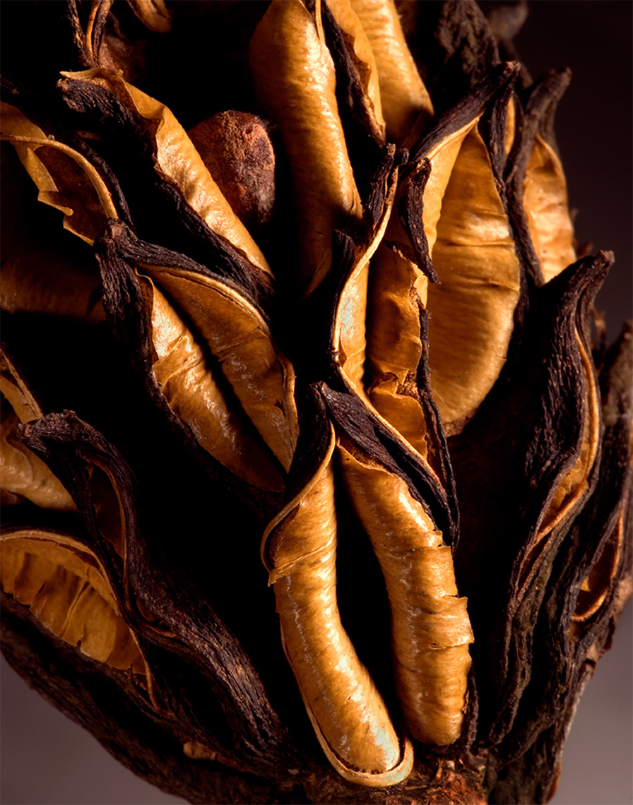 magnolia seedpod detail